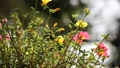 Clip of Pink and Yellow Common Purslane flower 68652533