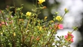 Clip of Pink and Yellow Common Purslane flower 68652535