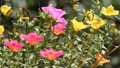 Clip of Pink and Yellow Common Purslane flower 68652536