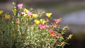 Clip of Pink and Yellow Common Purslane flower 68652537