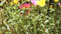 Clip of Pink and Yellow Common Purslane flower 68652538