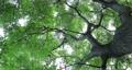 樟樹,樹梢,樹葉細縫陽光,クスノキ、梢、日光が差し込む葉、Camphor trees 68726710