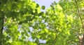 樟樹,樹梢,樹葉細縫陽光,クスノキ、梢、日光が差し込む葉、Camphor trees 68726711