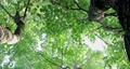 樟樹,樹梢,樹葉細縫陽光,クスノキ、梢、日光が差し込む葉、Camphor trees 68726712