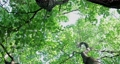 樟樹,樹梢,樹葉細縫陽光,クスノキ、梢、日光が差し込む葉、Camphor trees 68726713