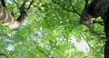 樟樹,樹梢,樹葉細縫陽光,クスノキ、梢、日光が差し込む葉、Camphor trees 68726714