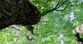 樟樹,樹梢,樹葉細縫陽光,クスノキ、梢、日光が差し込む葉、Camphor trees 68726715