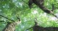 樟樹,樹梢,樹葉細縫陽光,クスノキ、梢、日光が差し込む葉、Camphor trees 68726716