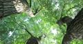 樟樹,樹梢,樹葉細縫陽光,クスノキ、梢、日光が差し込む葉、Camphor trees 68726717