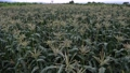 Corn fields in the countryside a few months before harvest 68868809