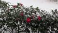 風と雪の中で揺れる山茶花その三 68922926