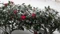 風と雪の中で揺れる山茶花その四 68922979