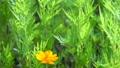キバナコスモスと緑の背景 ティルト 68928424