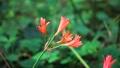 林間に咲くキツネノカミソリの花 68940045