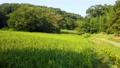 狭山丘陵の谷戸の田んぼ 夏の稲穂 69054301