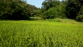 狭山丘陵の谷戸の田んぼ 夏の稲穂 パン 69054353