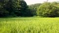 狭山丘陵の谷戸の田んぼ 夏の稲穂 パン 69054355