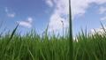 夏の季節で成長している稲の風景 69152146