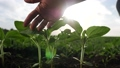 agriculture environmental protection. farmer hand touches pouring sunflower plants low on black soil. farmer hand checks the crop in agriculture. eco planet protect concept 69183962
