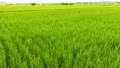 台灣農村稻田 Asia Taiwan rice fields 69269090