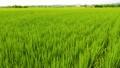 台灣農村稻田 Asia Taiwan rice fields 69269091