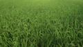 夏の季節に成長している水田の稲の様子 69288796