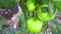 Video of unripen apples hanging on the tree in summer day 69335873