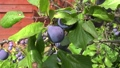 Shooting of ripen plums hanging on the tree 69335874