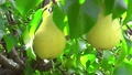 Shooting of ripen pears hanging on the tree in sunny day 69335894