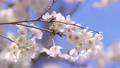 푸른 하늘 아래 바람에 흔들리는 벚꽃 69360249