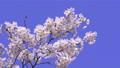 푸른 하늘 아래 바람에 흔들리는 벚꽃 69360252