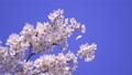 푸른 하늘 아래 바람에 흔들리는 벚꽃 69360254