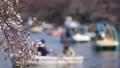 바람에 흔들리는 벚꽃과 이노 카 시라 연못에 떠있는 보트 69360256