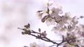 상쾌한 빛 속에서 바람에 흔들리는 벚꽃 69360257