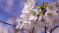 푸른 하늘 아래 바람에 흔들리는 벚꽃 클로즈업 69360259