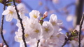 푸른 하늘 아래 바람에 흔들리는 벚꽃 클로즈업 69360261
