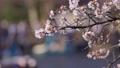바람에 흔들리는 벚꽃과 이노 카 시라 연못에 떠있는 보트 69360263