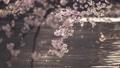 석양에 빛나는 이노 카 시라 연못의 수면과 바람에 흔들리는 벚꽃 69360265