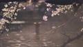 석양에 빛나는 이노 카 시라 연못에 떠있는 보트와 바람에 흔들리는 벚꽃 69360266