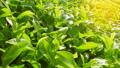 Green tea fresh leaves. 69455506