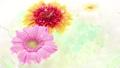 非洲菊花朵漂浮在水面上 69489321