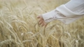 A girl in a white blouse runs her hand over the spikelets 69534501