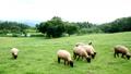 長野の羊 69553810