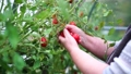 Female hands of farmer picking tomatoes growing in plant tomato vegetables on branch in greenhause. Farming harvesting crop, gardening concept. 69558237