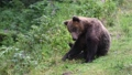 Large brown bear in a wild forest in summer time 69702186
