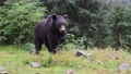 Large brown bear in a wild forest in summer time 69702187