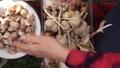 Female hands peeling garlic. Preparing the garlic for planting. Seed processing before planting 69776583