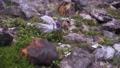 登山道に咲くリンドウ 69831750