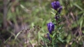 登山道に咲くリンドウ 69831752
