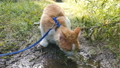 cat drinks water from a puddle 69855720